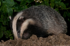 A Badger digs in wet mud looking for worms