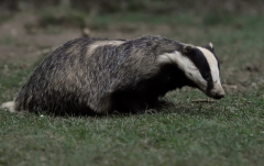 Badger_ISO2500_first