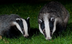 A badger boar and cub feeding together on a garden lawn at night