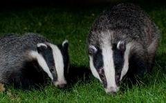 A badger boar and cub feeding together on a garden lawn at night