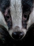 Badger_face_closeup