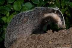 A Badger sniffs the wet soil looking for worms