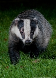 Badger_portrait_close_800