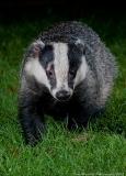 Badger_portrait_close_800