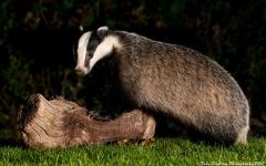 Badger_sideshot_1200