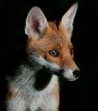 Fox_closeup_lowkey