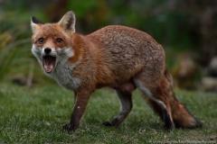 Fox_yawn_1600
