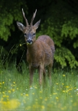 Roe buck eating Buttercups