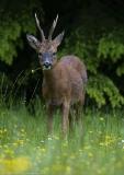 Roe buck eating Buttercups