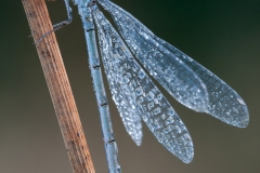 Damselfly covered in morning dew