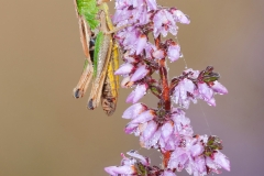 Meadow Grasshopper on heather