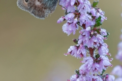 Small Heath butterfly on heather