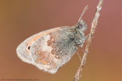 Small Heath butterfly closeup