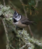 Crested Tit amongst lichen