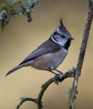 Crested Tit in autumn colours