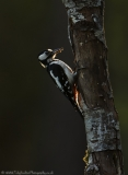 Backlit Great Spotted Woodpecker