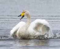 Whooper Swan bath time