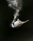 Coal Tit gathering wool for nest
