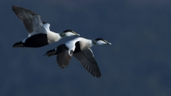 Male Eiders in flight