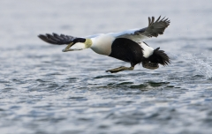 Male Eider taking off from water