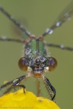 Emerald Damselfly head on portrait