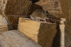 Field mouse in wood pile