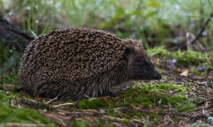 Hedgehog snuffling along woodland floor