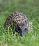 Garden Hedgehog
