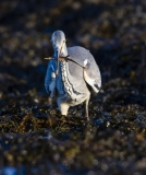 Heron with 15 Spined Stickleback