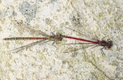 Large red Damselflies on pondside stone