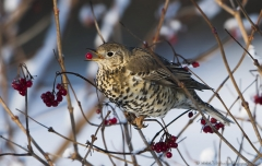 Mistle Thrush eating berries
