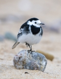 Pied Wagtail pose