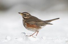 Redwing in snow Portrait