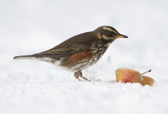 Redwing with apple in snow