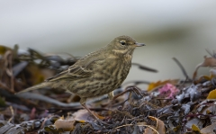 Rock Pipit checking the weedline