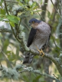 Male Sparrowhawk looking for prey