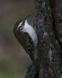 Treecreeper clinging to tree