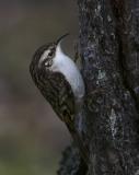Treecreeper clinging to tree