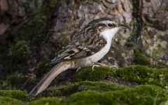 Treecreeper on the ground