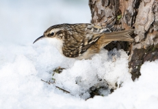 Treecreeper in snow