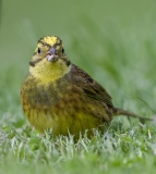 Yellowhammer portrait