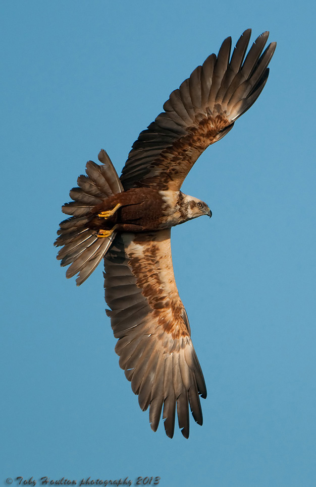 Majestic Marsh Harrier