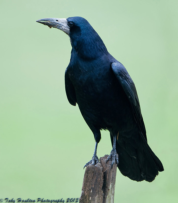 Rook portrait - Nikon D300 with Nikon 500mm f4, 1/250s, f4 @ISO400, VR ON