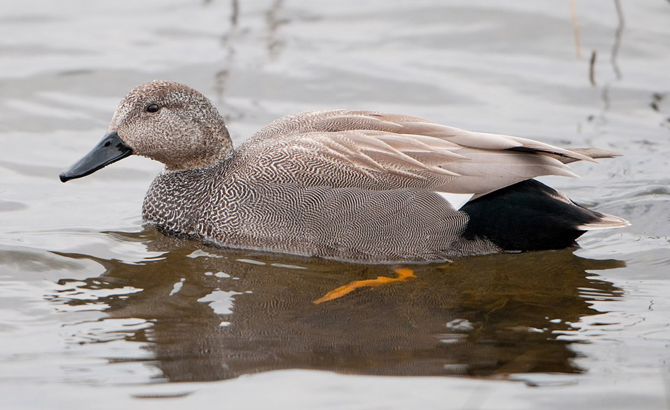 Male Gadwall in winter plumage