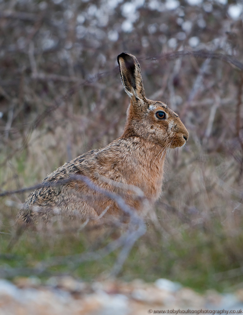 Hare hiding in the scrub
