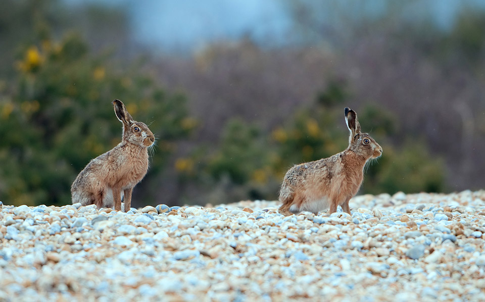 Hares on shingle