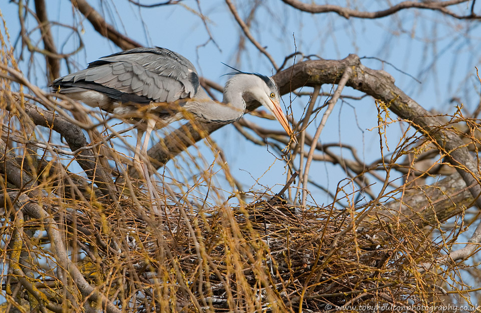 Grey Heron building nest