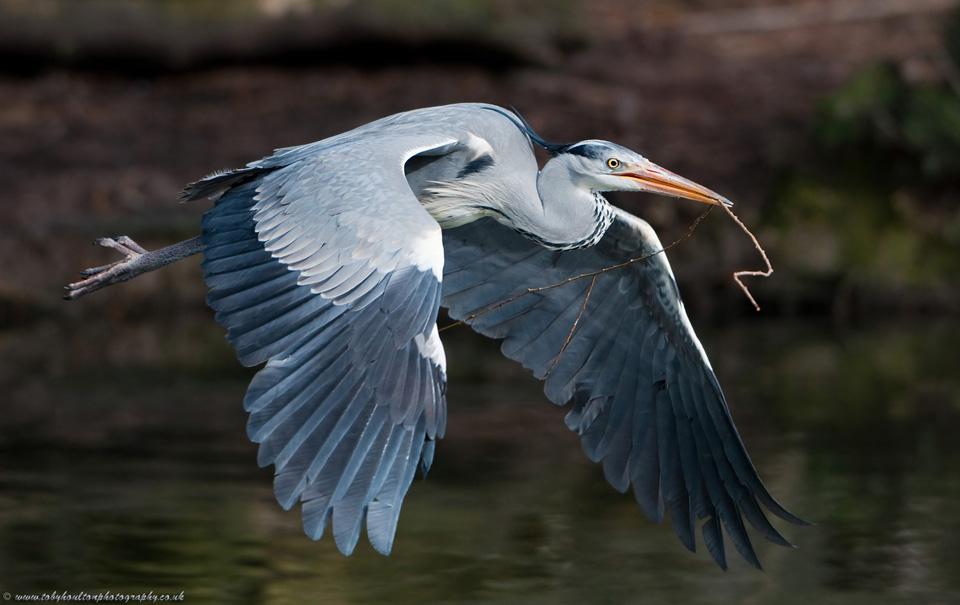 Heron carrying nesting material