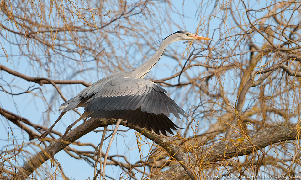 Grey Heron takes off from the nest