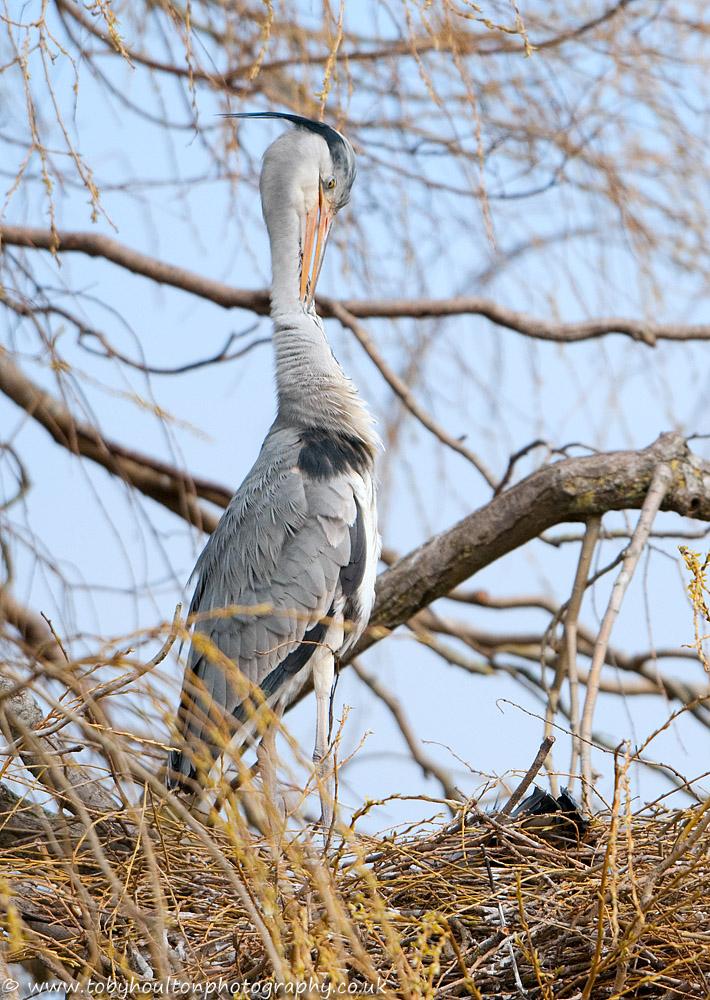 Grey Heron preening